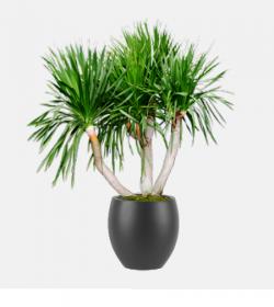 Dracaena Arborea