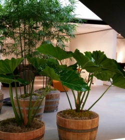 miami_interior_plant_service_with_bamboo_FosterPlants