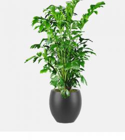 Caryota mitis - Fishtail Palm